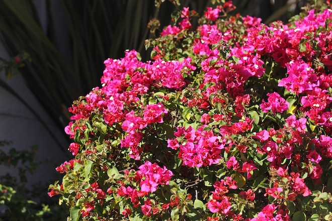 bougainvillea-california