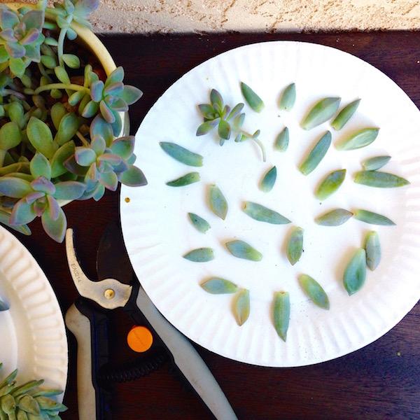 succulent-propogation-2