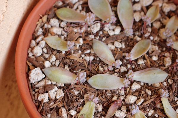 succulent-propogation-5